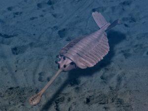 Recreación de un Opabinia, conocemos su existencia por los fósiles que hemos encontrado. Crédito: Nobu Tamura/wikimedia, CC BY-SA