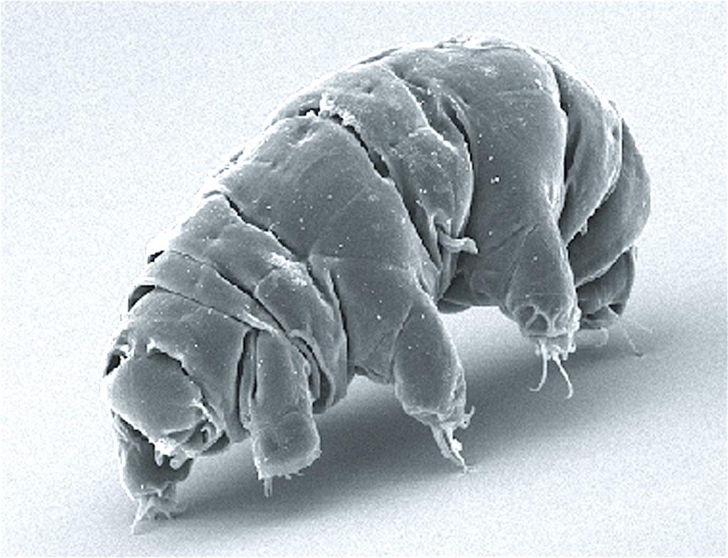 Los tardígrados son capaces de resistir incluso en el vacío del espacio.
